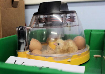 Chicks being incubated